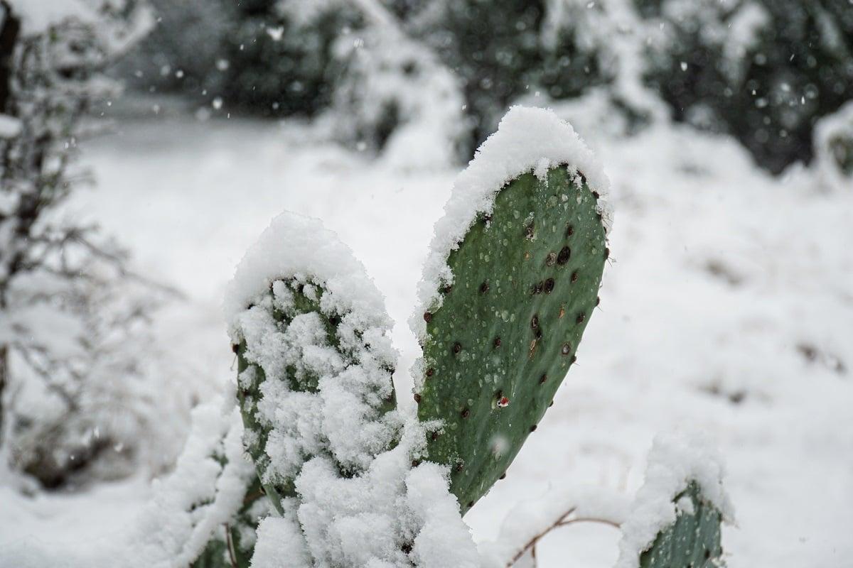cactus in snow